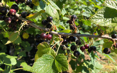 PYO Blackcurrants are ready!