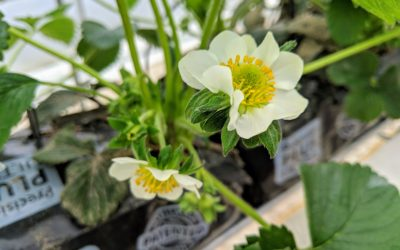 Strawberry Plants are Flowering!