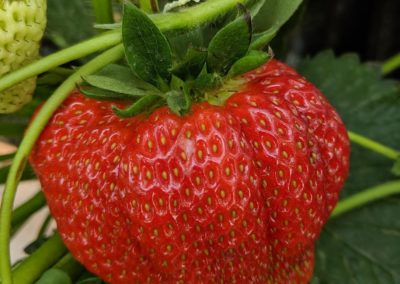 Indervidual Strawberry
